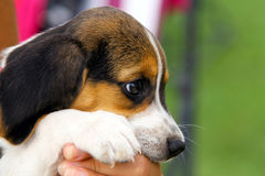 Cute Beagle puppy Stock Photo