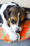 Cute Beagle puppy Stock Images