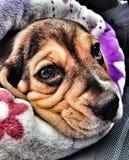 Cute beagle puppy Royalty Free Stock Photo