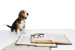 Cute beagle puppy with a book and glasses stock photo