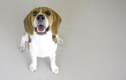 the cute beagle puppy dog ,with copy space for text Royalty Free Stock Photo