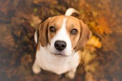Cute beagle puppy dog Stock Photo