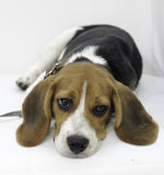 The cute beagle puppy dog Royalty Free Stock Images