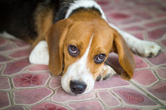 The cute beagle puppy dog Royalty Free Stock Photography