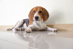 The cute beagle puppy dog Royalty Free Stock Photos