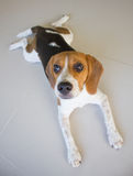 the cute beagle puppy dog Stock Image