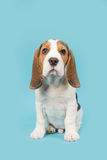 Cute beagle puppy dog sitting on a blue background Stock Photo