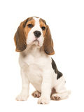 Cute beagle puppy dog sitting Royalty Free Stock Photography
