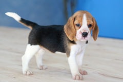Cute beagle puppy dog. Small cute beagle puppy dog looking up Royalty Free Stock Photography