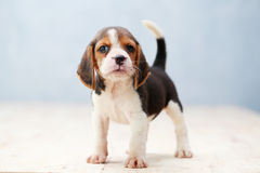 Cute beagle puppy dog. Small cute beagle puppy dog looking up Stock Image