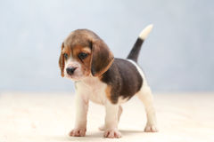 Cute beagle puppy dog. Small cute beagle puppy dog looking up Royalty Free Stock Photos