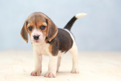 Cute beagle puppy dog. Small cute beagle puppy dog looking up Stock Photography