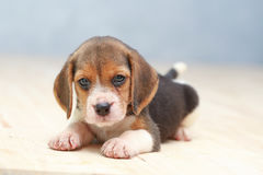 Cute beagle puppy dog. Small cute beagle puppy dog looking up Royalty Free Stock Image