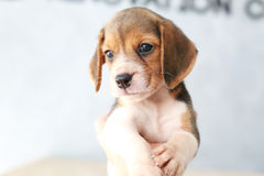 Cute beagle puppy dog. Small cute beagle puppy dog looking up Royalty Free Stock Photo