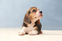 Cute beagle puppy dog. Small cute beagle puppy dog looking up Royalty Free Stock Images