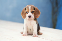 Cute beagle puppy dog. Small cute beagle puppy dog looking up Stock Images