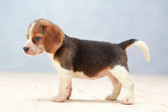 Cute beagle puppy dog Royalty Free Stock Photos