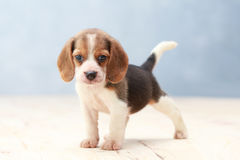 Cute beagle puppy dog. Small cute beagle puppy dog looking up stock photo