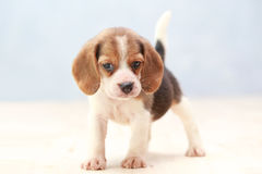 Cute beagle puppy dog. Small cute beagle puppy dog looking up Stock Photos