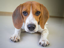 The cute beagle puppy dog Stock Photography