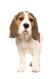 Cute beagle puppy dog standing Stock Photo