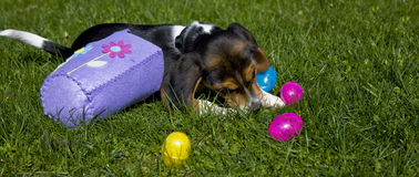 Cute Beagle Puppy with Easter Basket Royalty Free Stock Images