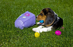 Cute Beagle Puppy with Easter Egg and Basket royalty free stock photos