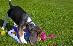 Cute Beagle Puppy with Easter Eggs Stock Images