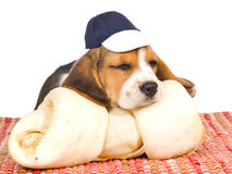 Cute Beagle puppy with huge bone Stock Image