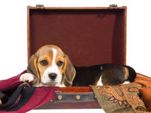 Cute Beagle puppy inside brown suitcase Royalty Free Stock Photo