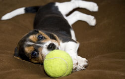Cute Beagle Puppy Laying Down Stock Photo