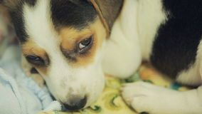 Cute Beagle puppy in the litter basket for dogs stock video