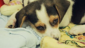 Cute Beagle puppy in the litter basket for dogs stock video footage