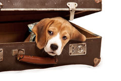 Cute beagle puppy into the old suitcase Stock Image