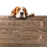Cute beagle puppy looking at the top . stock photos