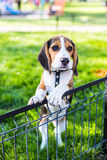 Cute beagle puppy. In the park royalty free stock image