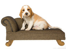 Cute Beagle puppy sitting on brown couch Stock Photos