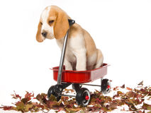 Cute Beagle puppy sitting in red wagon. Beagle puppy sitting in red miniature wagon with autumn leaves, on white background Stock Photo