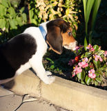 Cute Beagle puppy smelling some pink flowers. Side view of cute Beagle puppy smelling some pink flowers in the yard Stock Image