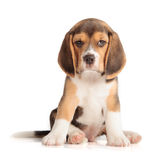 Cute Beagle Puppy Royalty Free Stock Photos