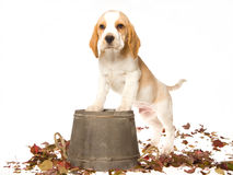 Cute Beagle puppy with wooden barrel Royalty Free Stock Images