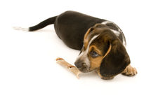 Cute Beagle Smelling Treat Royalty Free Stock Images