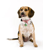 Cute Beagle Sticking Tongue Out Stock Photo