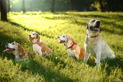 Cute Beagles and Labrador Retriever Stock Photography