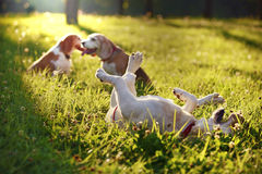 Cute Beagles playing Stock Image