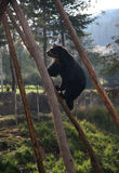 Cute bear climbing Stock Images