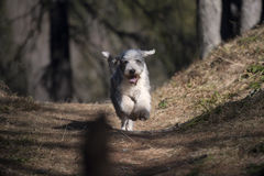 Cute Bearded Collie running in forest. He has flying ears and paws in the air royalty free stock photography