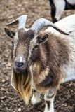 Cute Bearded Goat With Horns Stock Image