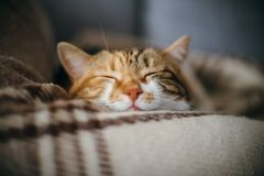 Cute beautiful cat sleeping inher dreams quilt. Front view of cute beautiful cat sleeping in her dreams on a classic British patterned quilt Royalty Free Stock Image