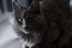 Cute beautiful grey cat indoors half in shadow Stock Photos